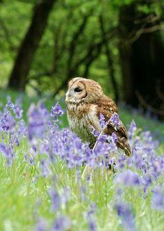 Owl in the lavendar