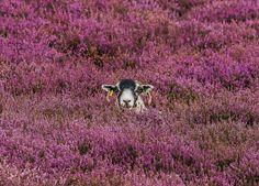 BBC One - Countryfile - Sheep Purple