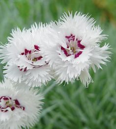 Dianthus plumaris. Sulkaneilikka