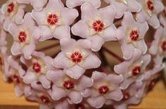 Hoya, Fiore di Cera
