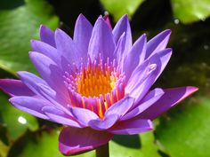 Photo of Water lily or lotus for fans of Flowers 22283539 Water Plants For Ponds, Pond Plants, Aquatic Plants, Water Pond, Garden Water, Lotus Flower Pictures, Flower Images, Flower Photos, Lily Images