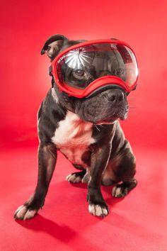 Spennende og annerledes bilde av hunden din. Med farger kan vi skape kontrast eller harmoni og tilpasse uttrykket til din hund. Hundefotograf i Sarpsborg Staffordshire Bull Terrier, Family Dogs, Pitbulls, Studio, Animals, Animales, Pit Bulls, Animaux, Pitbull