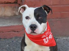 TO BE DESTROYED 6/30/14 Brooklyn Center - P  My name is JAMES. My Animal ID # is A1003875. I am a male white and black pit bull mix. The shelter thinks I am about 1 YEAR   I came in the shelter as a STRAY on 06/19/2014 from NY 11691, owner surrender reason stated was STRAY.