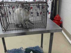 SAPPHIRE - ID#A462655 - Harris County Animal Shelter in Houston, Texas - 1 year old Spayed Female Tortoiseshell Point/Siamese Domestic SH - at the shelter since Jun 27, 2016.