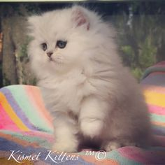 Doll face persian kittens for sale philippines