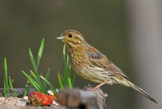 A Female Cirl Bunting(Emberiza cirlus)  photographed by Ana Silva  at Carrazeda de Ansiães, Portugal on 9th May 2015