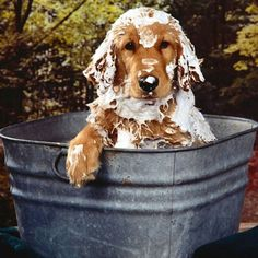 Oh no, not a bath. Golden retriever bath and bubbles Baby Dogs, Pet Dogs, Dogs And Puppies, Dog Cat, Doggies, I Love Dogs, Puppy Love, Happy Puppy, Animals Beautiful