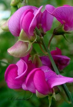 The sweet pea Flowers Garden Love