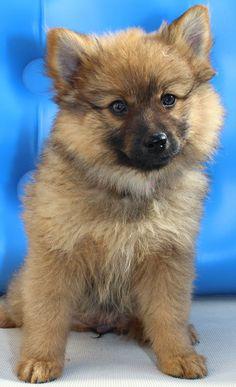Dog - German Spitz - INCA on www.yummupets.com