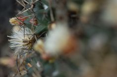 Flores entre espinas de la biznaga de chilito