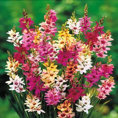 Ixia hybrid mix Twinkle Toes - 20 flower bulbs Buy online order yours now