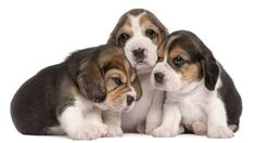 Which of us do you think is the cutest? A, B or C?...  Click on this image to find even more cute #Beagle #puppies pictures