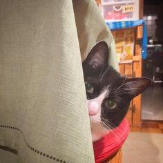 Today's momo. #cat #hachiwareneko #momohug #morinoki