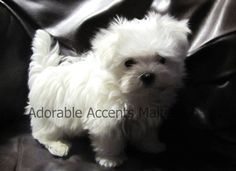 Heres my cutie Caspar Dune at 9 weeks...Maltese love <3