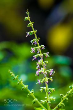 Ocimum tenuiflorum, also known as Ocimum sanctum, Holy basil, or tulasī, is an aromatic plant in the family Lamiaceae which is native throughout the Eastern World tropics and widespread as a cultivated plant.[1] It is an erect, much branched subshrub, 30–60 cm tall with hairy stems and simple opposite green or purple leaves that are strongly scented. Leaves have petioles and are ovate, up to 5 cm long, usually slightly toothed. The flowers are purplish in elongate racemes in close whorls.[2]…