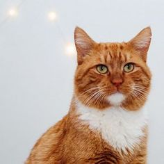 """""""Hello ladies. I'm Titan, a Scottish badass with a badass Cyber Monday deal. Get 30% OFF reservations when you book a visit to Crumbs & Whiskers with the code CYBERCATS until 11:59 PM on Dec 1. If I think you're a cool cat, I might even buy you a drank when you visit."""" - Scottish Titan (Reservations can be for any future date as long as the booking is made by tomorrow. Happy Holidays from Crumbs & Whiskers!) #cybermonday #crumbsandwhiskers"""