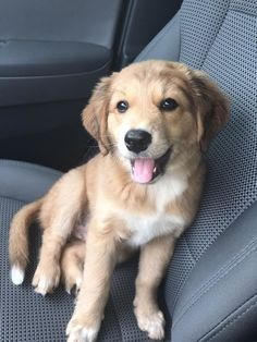 Golden Retriever, German Shepherd and Australian Shepherd mix. babyanimalgifs Source by The post babyanimalgifs appeared first on Coulson Puppies. Golden Retriever Labrador, Retriever Puppy, Golden Retrievers, Labrador Retrievers, Cute Puppies, Cute Dogs, Dogs And Puppies, Doggies, Toy Dogs