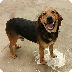Lisbon, OH - Bloodhound/German Shepherd Dog Mix. Meet Sawyer, a dog for adoption. http://www.adoptapet.com/pet/12722615-lisbon-ohio-bloodhound-mix