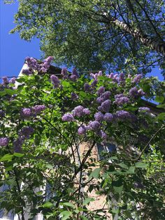 15.06 Lilac in courtyard