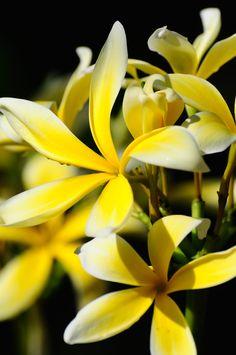 Yellow Frangipani - Looking for inspiration in my backyard.