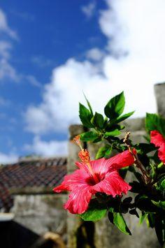 強い生命力 | by ( ´_ゝ`) Sho #竹富島 #沖縄 #ハイビスカス #Okinawa #Hibiscus #Japan