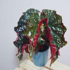 #begoniacracklinrosie #begonia #angelwingbegonia Begonia Maculata, Houseplants, Indoor Plants, The Good Place, Wanderlust, Gardening, Landscape, Friends, Pretty