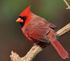 Northern Cardinal, Male, Identification, All About Birds - Cornell Lab of Ornithology Love Birds, Beautiful Birds, Beautiful Things, Parus Major, Northern Cardinal, State Birds, Cardinal Birds, Backyard Birds, Wild Birds