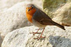 Sarkanrīklīte.Robin