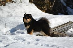 Dagolas Zeena - Asta Finnish Lapphund