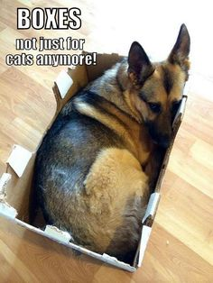 German Shepherds laugh's ... lol