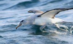 Salvin's Albatross, Thalassarche (Diomedea) cauta salvini off Valparaiso, Chile Birds, Shadows, Animals, Nature, Darkness, Animales, Naturaleza, Animaux, Bird
