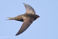 Fotografia naturalistica - fotografie Rondone (Apus apus) [Common swinft]