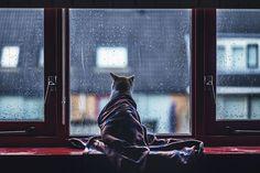 Обои для рабочего стола Кошка, закутанная в плед, смотрит в окно на дождь
