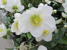 Every garden should include some spring flowering perennial flowers to remind us that winter is over at last for another year. This list of spring blooming perennials is divided into… Geranium Phaeum, Jade Green Color, Spring Flowering Bulbs, Christmas Rose, Beautiful Flowers Garden, Plant Species, Flowers Perennials, Seed Starting, All Plants
