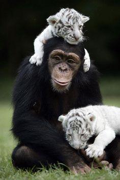 Anjana la chimpancé y sus chachorros de tigre siberiano