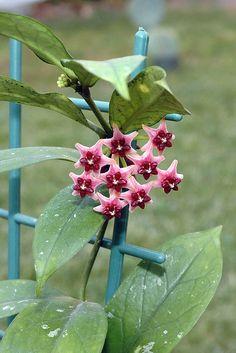 Hoya Lobbi pink