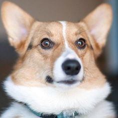 Corgis — they're cute, they're fluffy, they're smiley and their selfies are absolute perfection.