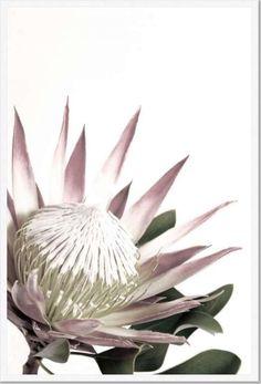 Open Protea Framed Print [Frame Colour: White] [Size: xxLarge 1030x1530mm]