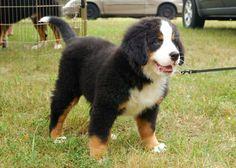 Bernese Mountain Dog Puppy - Spirit Animal Totems