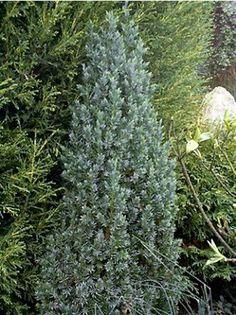 Juniperus chinensis Stricta - Feuilles