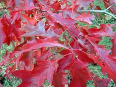Red oak (Quercus coccinea) - traditional - landscape