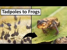 The life cycle of a frog as told by 2 young boys - great video footage! Kindergarten Science, Teaching Science, Preschool, Tadpole To Frog, Frog Activities, Cool Science Experiments, Science Videos, Lifecycle Of A Frog, Frog Theme