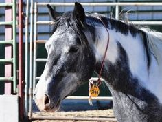 This beauty is for adoption from the Burns, OR BLM internet adoption! #Mustang