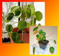 Pilea Peperomioides - Chinese Money or Missionary Plant - Peperomoides