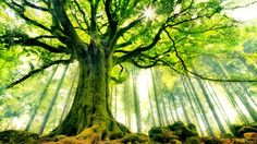 Ancient Tree HD Wallpaper « Cool Wallpapers