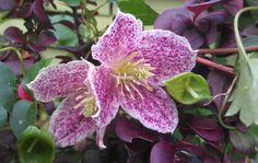 Clematis cirrhosa var. purpurascens 'Freckles' large evergreen climber with glossy dark green leaves tinged bronze in winter. Flowers 5cm during late autumn, winter or early spring. Good silky seed-heads. Requires a warm sheltered position but is generally hardy in an average winter. It thrives in any fertile, well-drained soil. Plant with the crown 5-8cm (2–3in) deep to encourage shoots to grow from below ground level. Keep the base shaded and cool