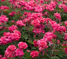 Rose Double Knock Out® Fall Shipped - White Flower Farm
