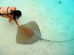 Sting rays are amazing creatures, loved swimming with them and can't wait to do it again.