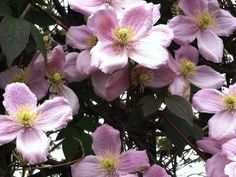 Clematis at St. Martins