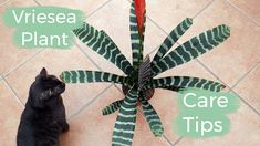 Vriesea Plant Care Tips: The Bromeliad With The Flaming Sword Flower
